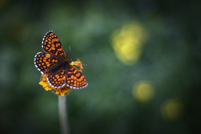 Heath Fritillary on Arnica