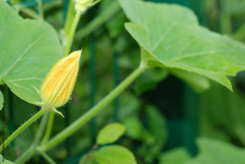 Kürbisse in meinem Garten
