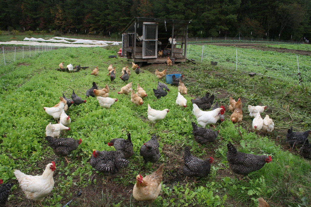 Pastured hens at Perry-winkle Farm