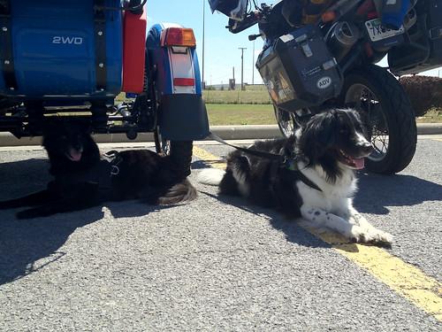 Street Dog Smarts vs. City Dog Smarts