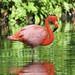 Flamingo by ricketdi