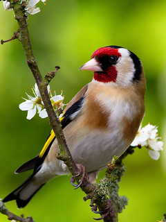 IMG_5498 Goldfinch