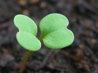 Salad seedling