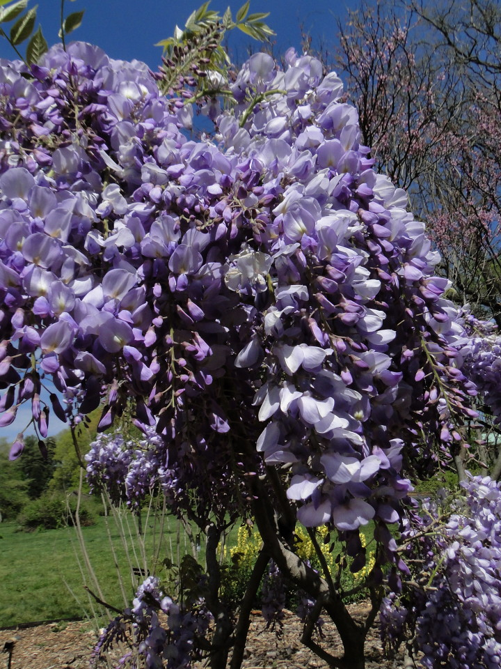 6-77-21apr12_3711_Botanical_garden japanese wisteria