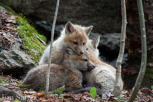 Briefly Stirring, Pile of Fox Kits