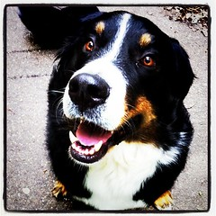 dog breed, animal, dog, appenzeller sennenhund, mammal, greater swiss mountain dog, entlebucher mountain dog, bernese mountain dog,