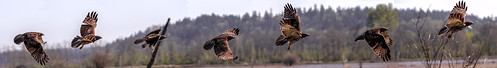 panorama tree bokeh hawk raptor birdofprey wasington 70200f4 nisquallynationalwildliferefuge seattleflickermeetup canon7d april212012
