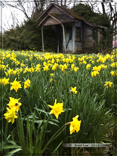 Oregon Daffodils by Just Used Pixels