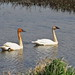 Trumpeter Swans - Spring at Magee Marsh