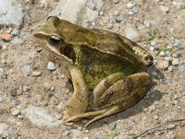 Common Frog Flickr Photo Sharing