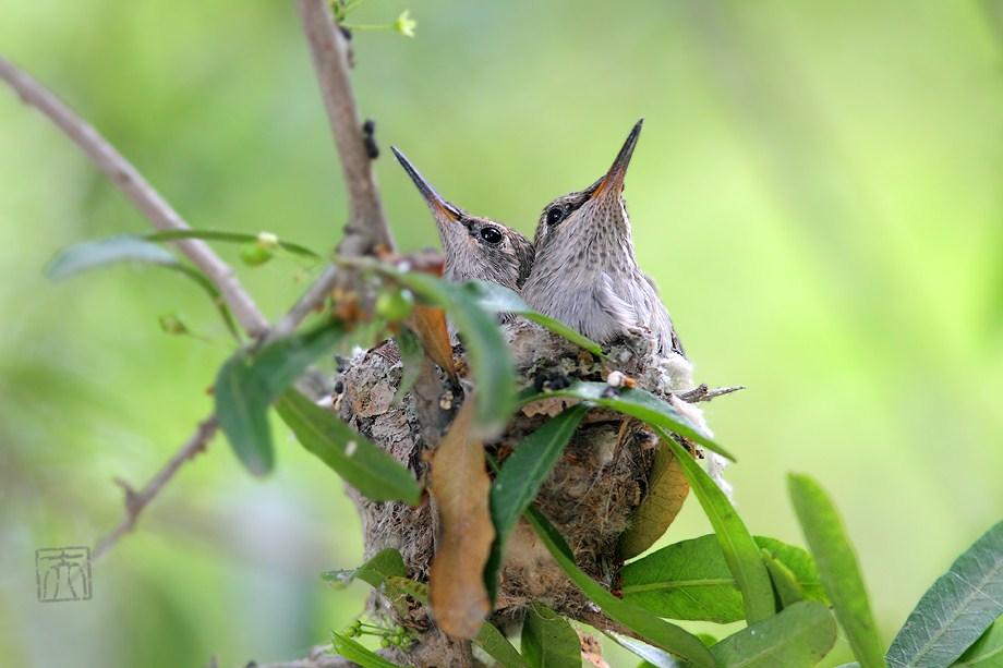 Anna's Hummingbird nest 050412