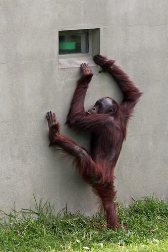 newzealand window canon zoo explore climbing auckland orangutan aucklandzoo babyorangutan explored 550d t2i canoneos550d juvenileorangutan