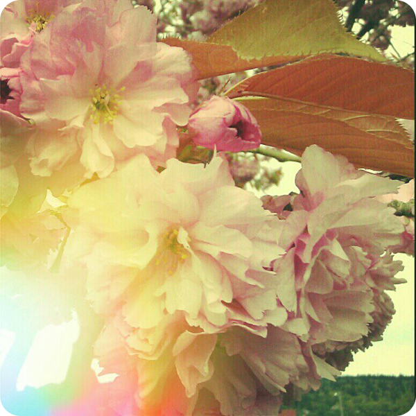 {april 27} cherry blossoms