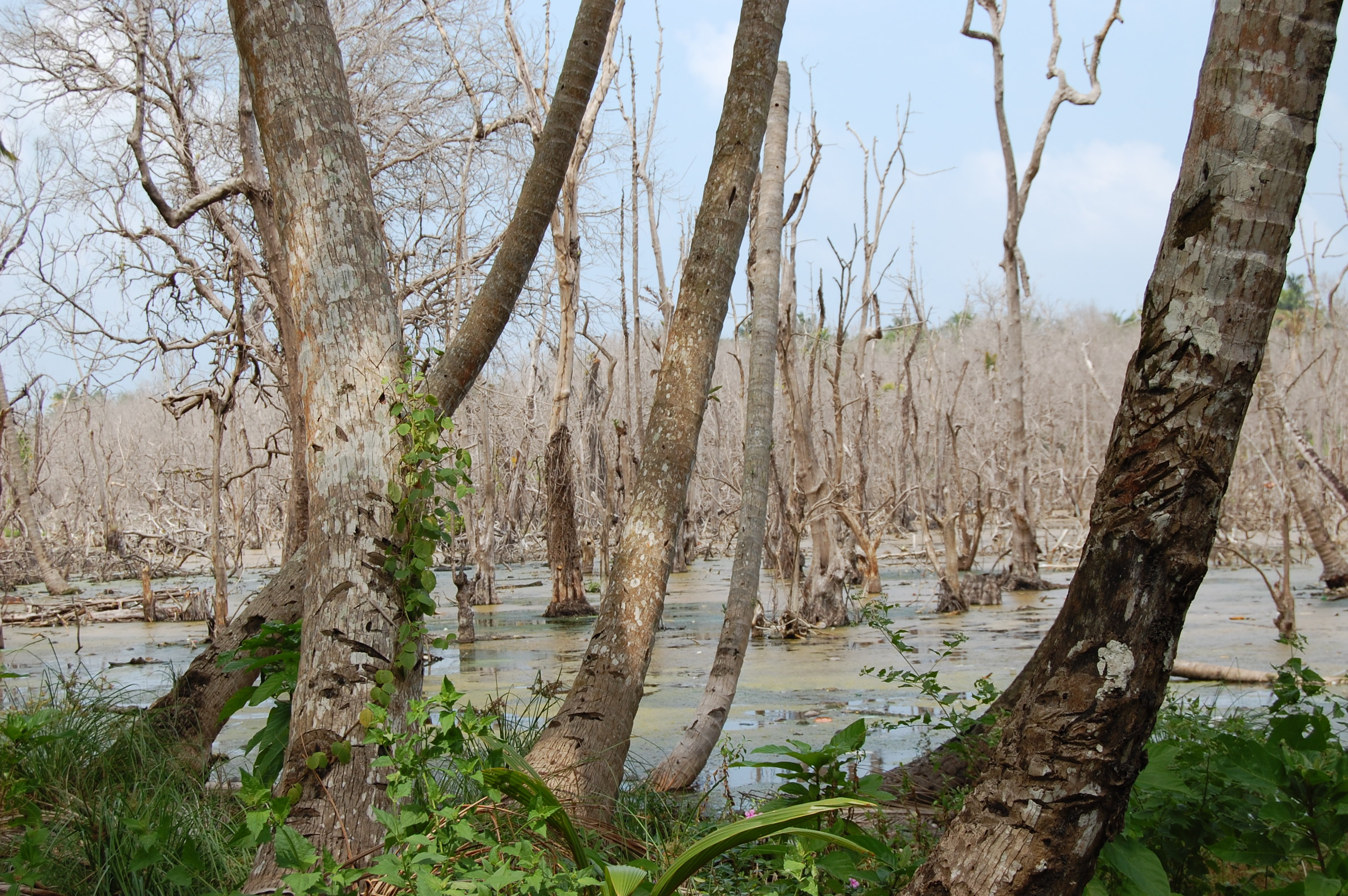 A wilting mangrove forest in Car Nicobar, destroyed by the Asian Tsunami in  2004. Credit: Malini Shankar/IPS
