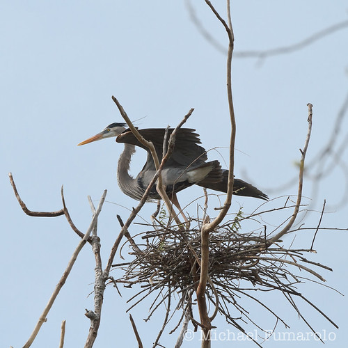 Danada Great Blue Heron Rookery - 07