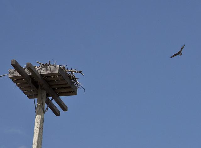 osprey2