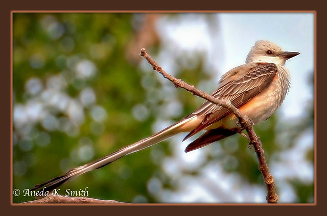 State Bird of Oklahoma-Scissortailed Flycatcher