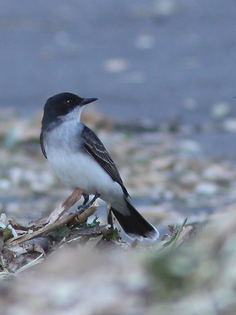 Eastern Kingbird 20120524