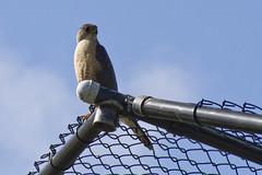 20120606 - Coopers Hawk