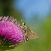 moth on thistle