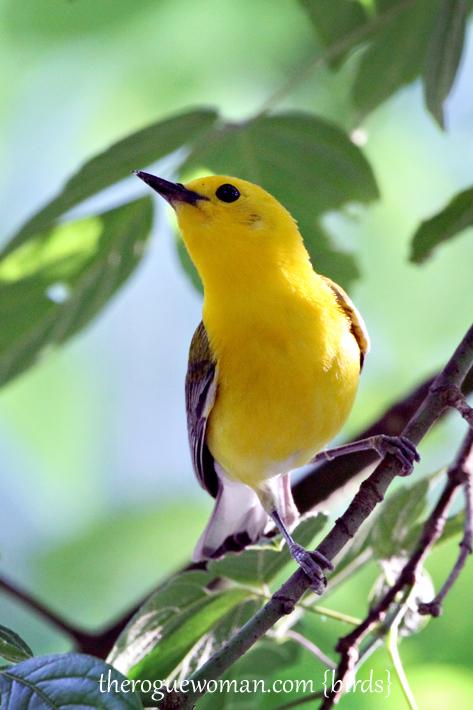 060512_04_birding10_prothoanamWarbler