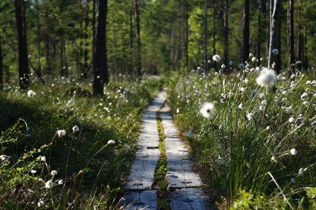 More duckboards, more Cottongrass