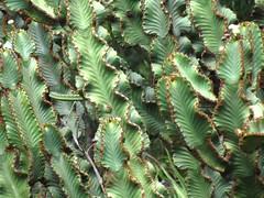 shrub(0.0), flower(0.0), tree(0.0), ostrich fern(0.0), ferns and horsetails(0.0), jungle(0.0), plant stem(0.0), spruce(0.0), vascular plant(1.0), branch(1.0), leaf(1.0), plant(1.0), flora(1.0), green(1.0), vegetation(1.0),
