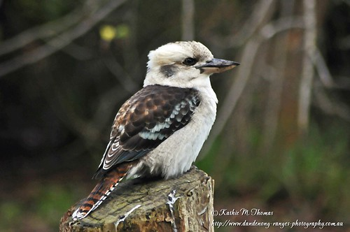 A portrait of a kookaburra