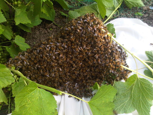 bee swarm June 12