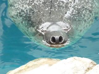 ごまあざらし 京都水族館