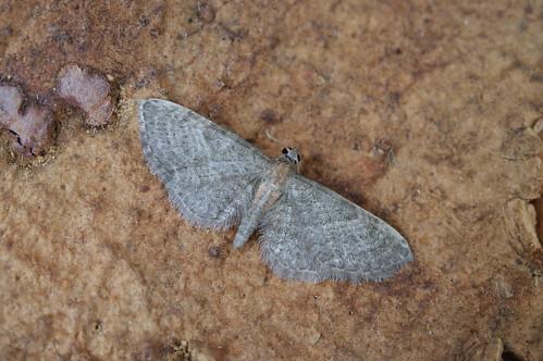 1813 Haworth's Pug (Eupithecia haworthiata)
