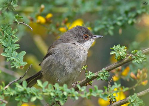 Toutinegra-de-cabeça-preta (Sylvia melanocephala)