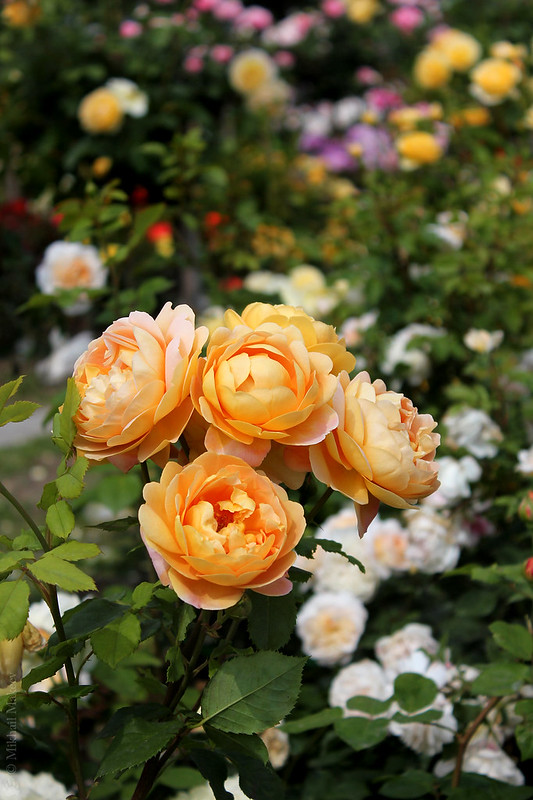 Rose 'Golden Celebration', (David Austin, 1992), Shrub.  English Rose Collection — Английская кустовая роза 'Golden Celebration', (David Austin, 1992)
