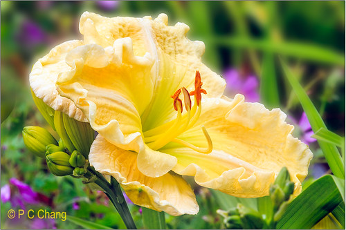 summer sun flower green beautiful yellow garden flora lily blossom cream foliage daylily bloom fabulous middaysun thegalaxy pcchang flickrstruereflection1 rememberthatmomentlevel1