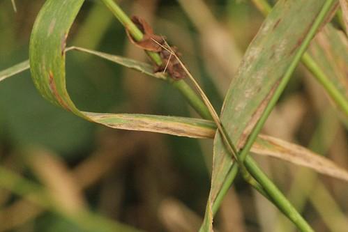 ホソツツタマムシのいた草