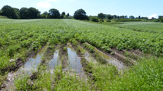 well watered potato field