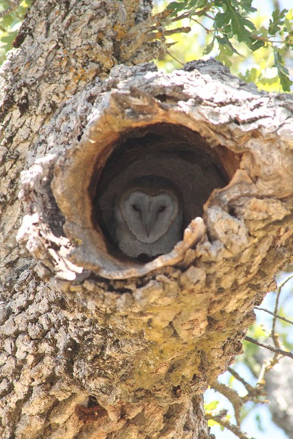 Barn Owl In Oak Tree Hole At Borr Flickr Photo Sharing
