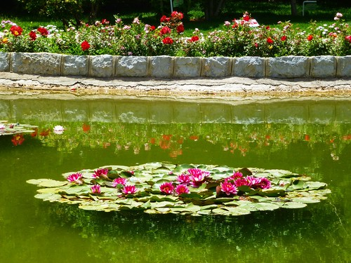 "A ""raft"" of waterlilies in Baaghe Golha, Esfahan, Iran"