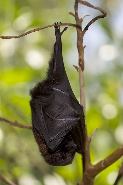 rodrigues fruit bat glycemic index fruit