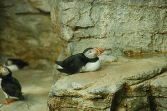animal, puffin, nature, fauna, beak, bird, seabird, wildlife,