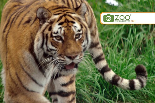 Siberian Tiger picture zoo animal photos