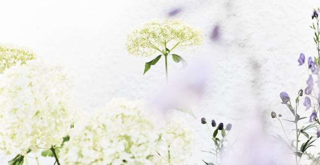 vit hortensia