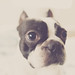 Echoes, The Boston Terrier
