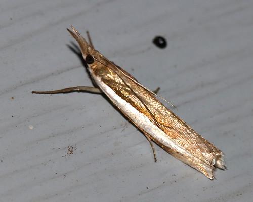 lepidoptera moth upperpeninsula michigan commongrassveneer crambuspraefectellus
