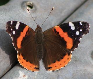 butterfly427c