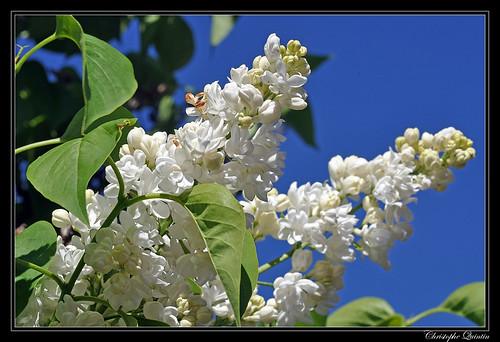 Lila blanc (Syringa vulgaris)