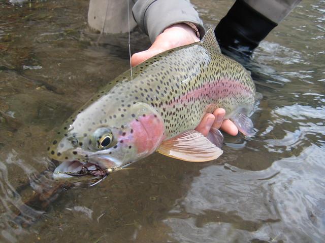 Wild Mckenzie Rainbow Trout