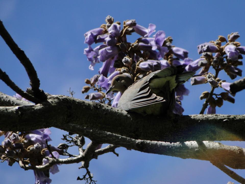 6-77-21apr12_3693_Botanical_garden_empress_tree bird