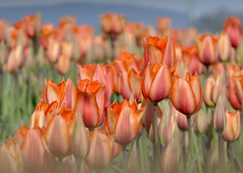 05-06-12 Orange Tulips by roswellsgirl