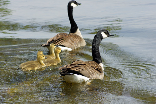 Goosey family out for a swim